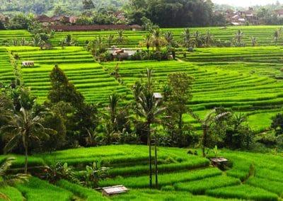 Jatiluwih Rice Terrace 1201191