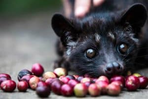 Luwak Coffee Plantation 120119