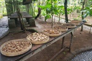 Luwak Coffee Plantation 1301191