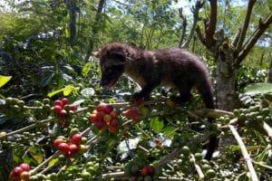 Luwak Coffee Plantation 1301193