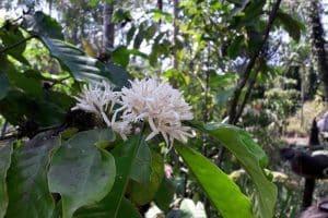 Luwak Coffee Plantation - Honeybee Farm 1301192