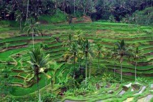 Ubud Tegalalang Rice Terrace 130119