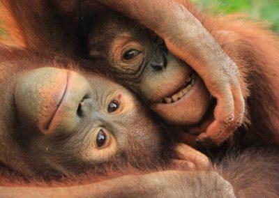 Bali Zoo Orangutan