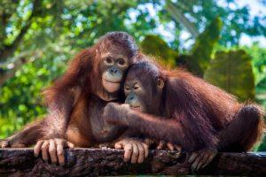 Dara & Goval Orangutans at Bali Zoo